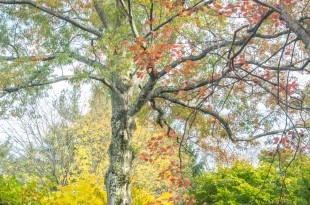 Previous Pages: An original Quercus palustris towers above a yellow Acer palmatmum 'Sango Kaku.' They embody the variety of autumn color among the deciduous trees on Walnut Hill.