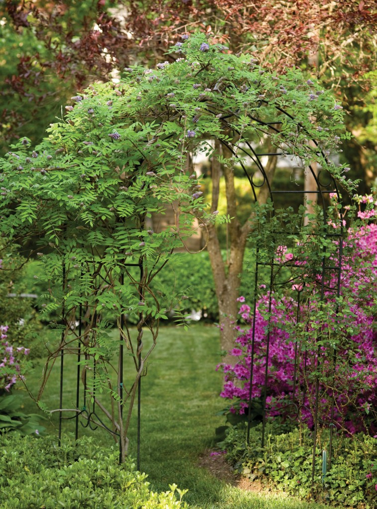 purple azaleas near wisteria over an arch