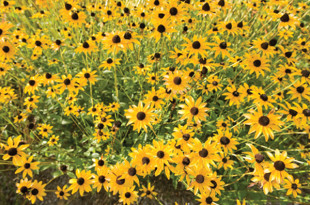 A mass of black-eyed Susans.