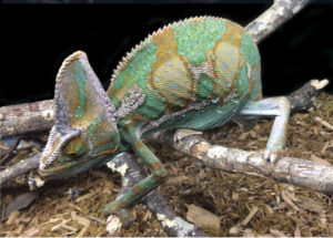 veiled-chameleon